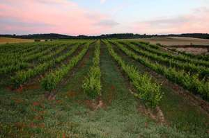 gorgeous vineyards.jpg